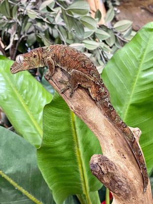Picture of Male Chahoua Gecko